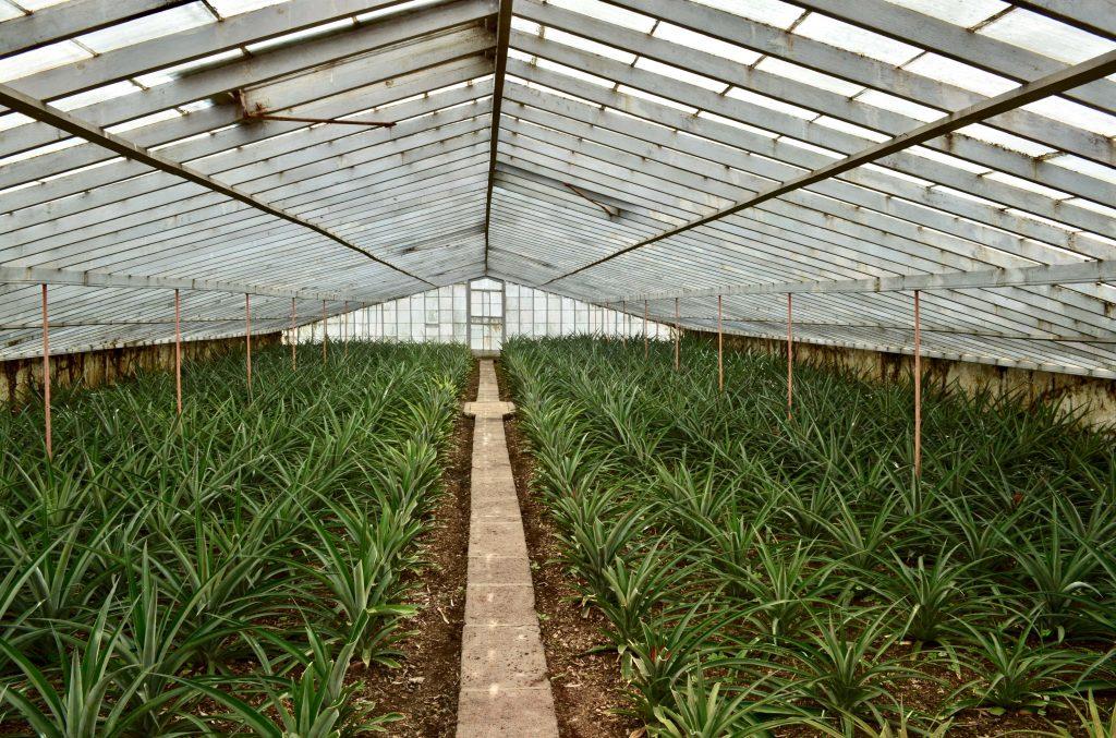 São Miguel Ananases A Arruda Pineapple Plantation